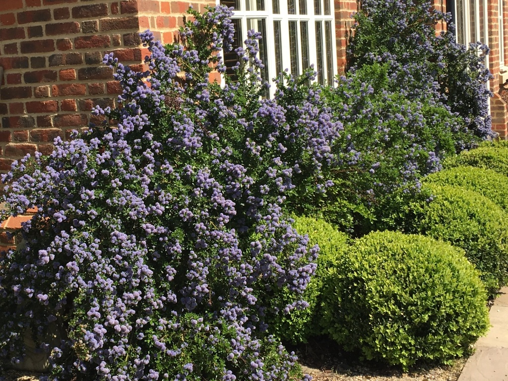 Domestic soft landscaping -Ceanothus planted and maintained by Harrell